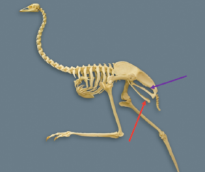 The skeleton of an emu. See how the pubis (red) and ischium (purple) both point backwards. Image courtesy of wikimedia commons (arrows added).