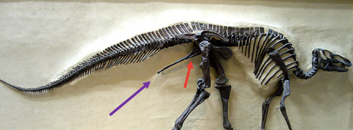 A skeleton of  Edmontosaurus . Note how the pubis (red) and the ischium (purple) are sort of smooshed together and pointing backwards.Image courtesy of wikimedia commons (arrows added). Also, in this dinosaur, there is a kind of bony flange sticking forward from the pelvic girdle, but that's a different structure, the anterior process, as Dave Hone explains  here.