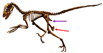 This is  Deinonychus --a weird case. It's a theropod, and so traditionally classified as saurischian, but the hip obviously looks kind of bird-like, with the pubis (red) pointing backwards and smoothed up against the ischium (purple). Compare it to the emu above. Image courtesy of wikimedia commons (arrows added).