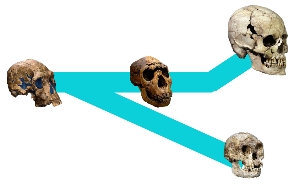 An, um, not-at-all-to-scale representation fo the first hypothesis. Time moves from left to right, we start with our friend H. habilis, then the tree splits, with some evolving into H. erectus (and eventually those fancy sapiens), and the others eventually become H. floresiensis.