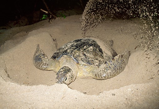 Sea turtle nest-building is hardly, um, dainty, and considering that nests are very close to one another, a later turtle often disturbs an earlier turtle's cache
