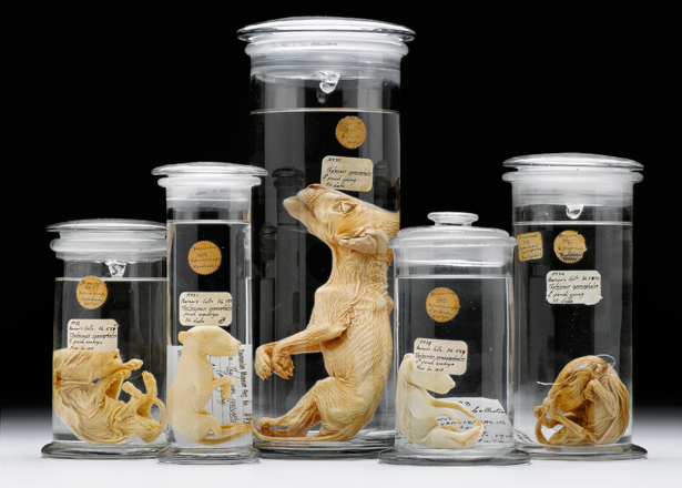 Preserved thylacine pup and fetuses. Image from  National Geographic .