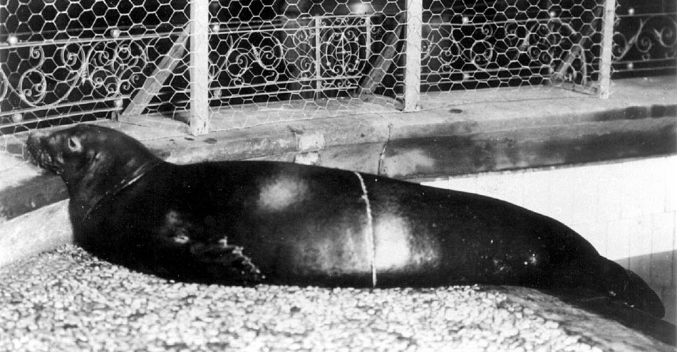 Using the sighting method, Solow (1993) estimated that the Caribbean monk seal (pictured above) likely went extinct before 1973. Image from Wikimedia Commons.