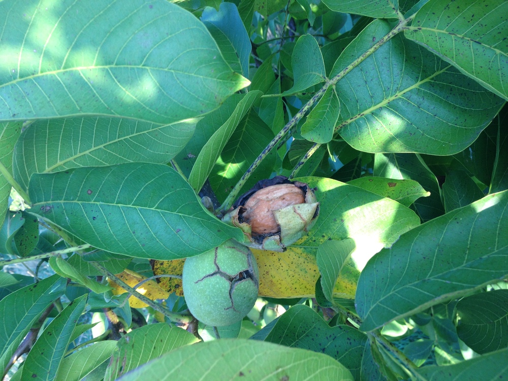 Walnuts emerging from their green husks.