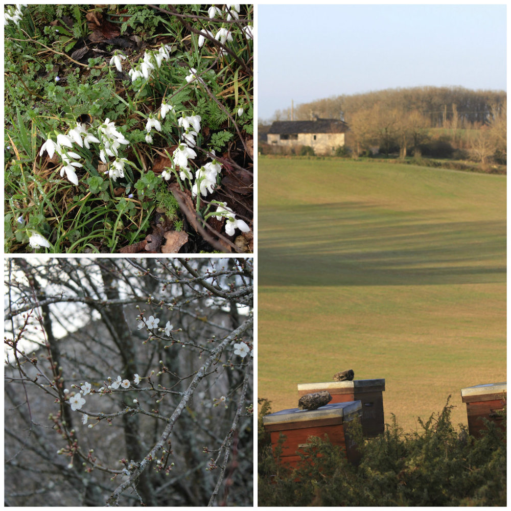 Feb 2016. Top left: the snow drops are out, notice the bee! Bottom left: first blossom on the plum trees. Right: The bee hives across the field.