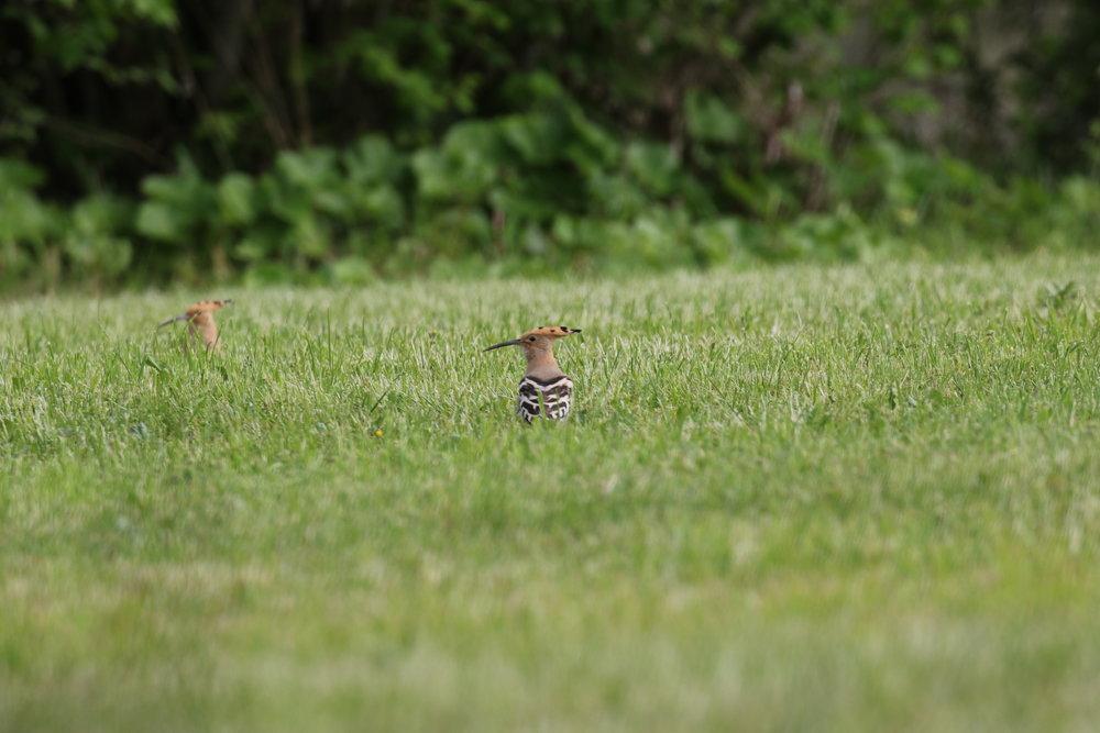 The Hoopoe.                                                      Photo: Geoff Carss