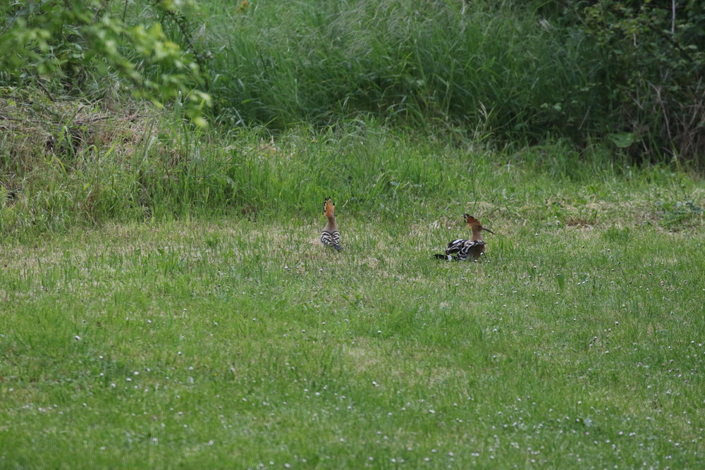 The hoopoes nested at FFQ last April. Photo Geoff Carss.