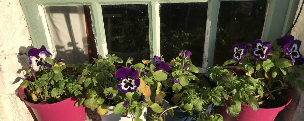 Winter pansies.
