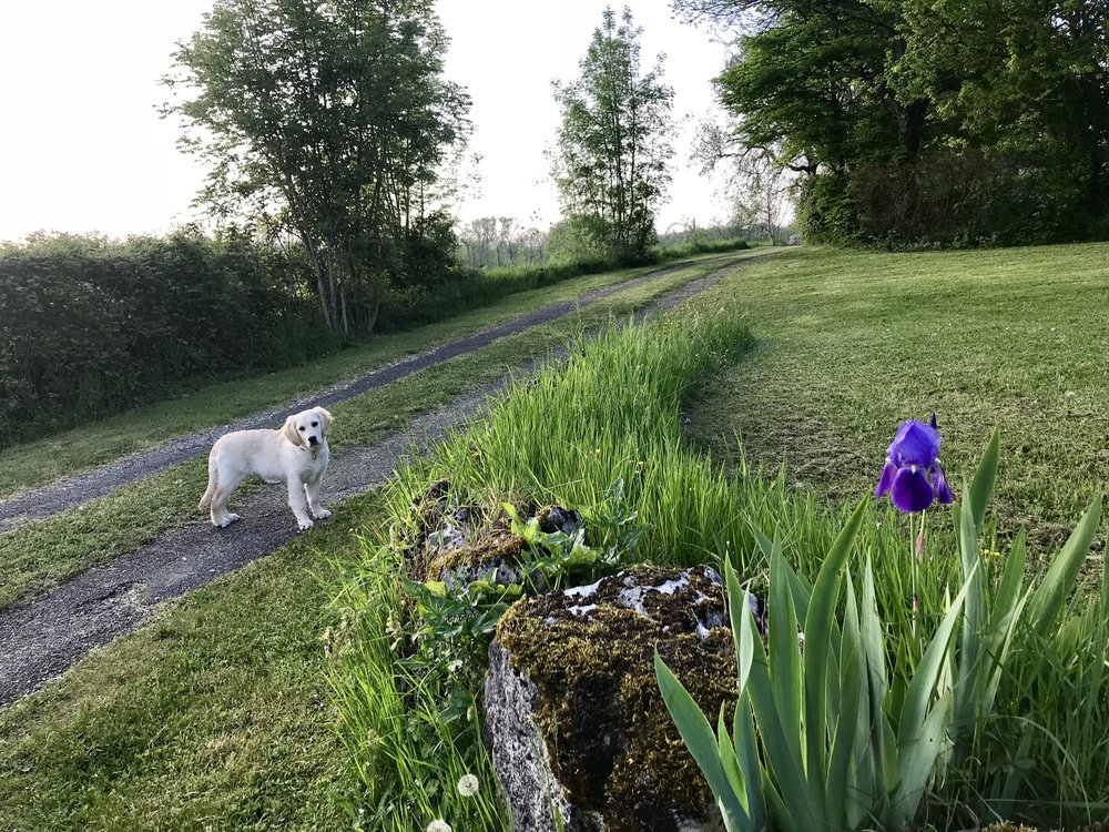 Had to start with a picture of Emmie and the one iris flower. We also have just the one bluebell in Bluebell Copse.