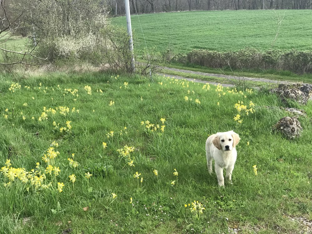 Emmie at Tessa's Cowslip Corner. The cowslips have been abundant and so beautiful this year, they have lasted a long time too.