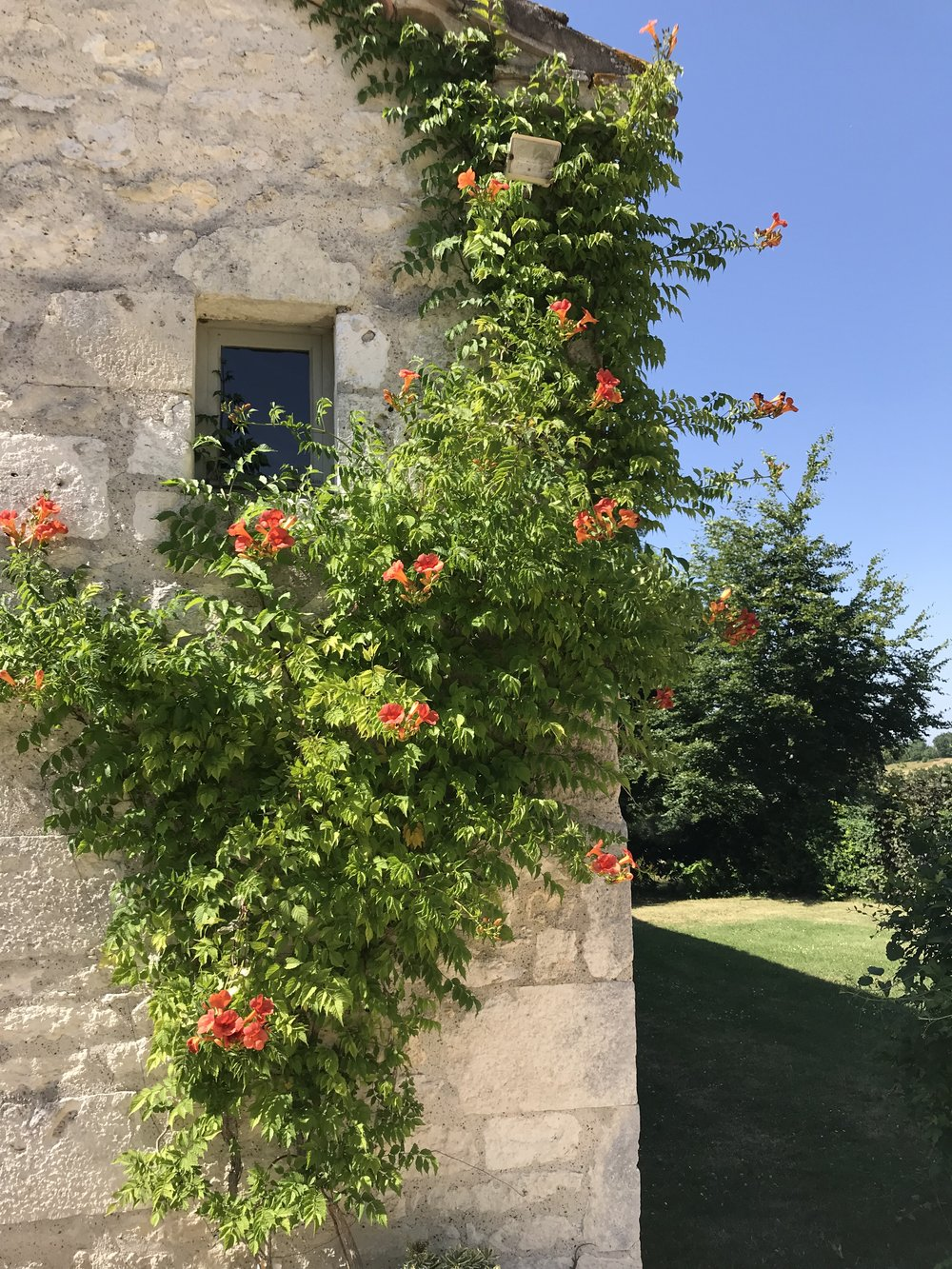 The Campsis or trumpet vine has beautiful orange flowers this year.