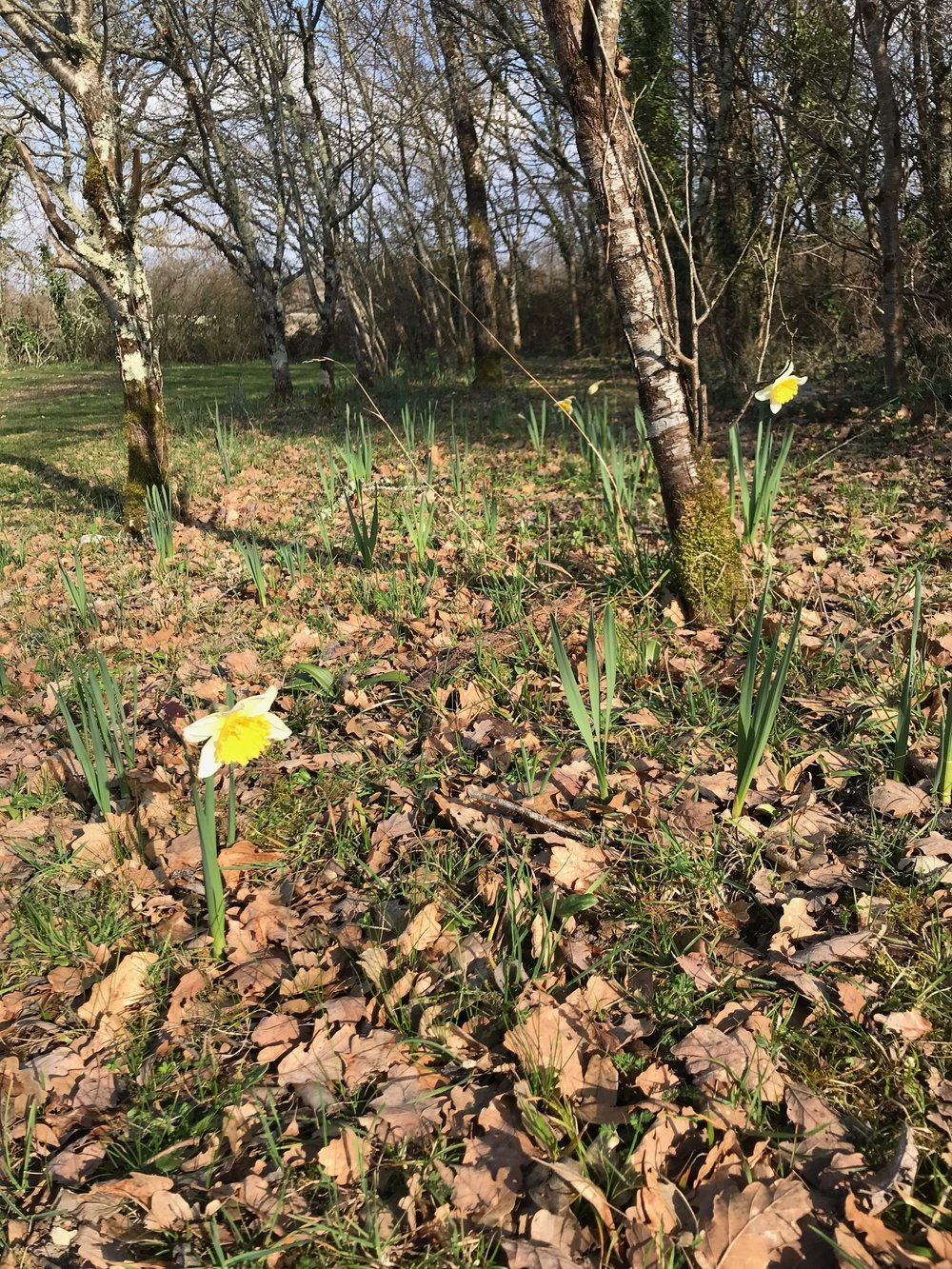 The daffodils planted in the autumn were the right way up! They are starting to open now though we do seem to have some without a flower. A bit of feed perhaps and hope for more flowers next year.