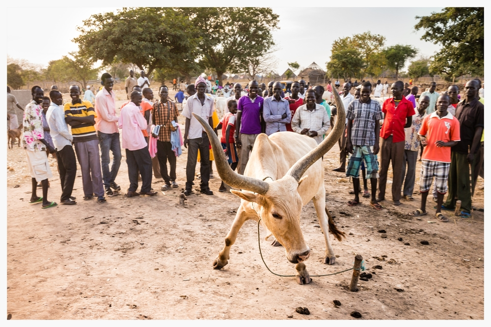 Cattle market, Tonj North, South Sudan  . Photo © Marcus Perkins