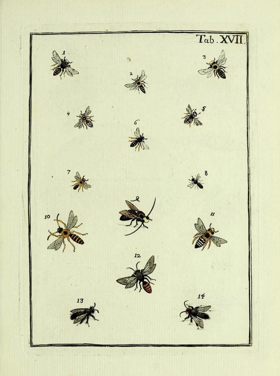 Naturgeschichte, Klassification und Nomenclatur der Insekten vom Bienen, Wespen und Ameisengeschlecht.  Frankfurt am Mai in der Hermannischen Buchhandlung, 1791