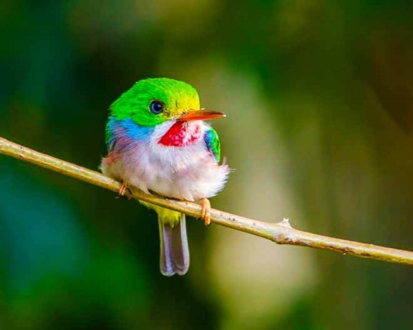 Cuban Tody | photo by Maureen Breakiron-Evans via  BirdWatching Daily