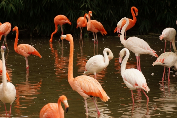 Flamingos wade in a lagoon