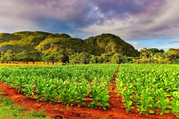 Mogotes overlooking a tobacco field in Vinales, Cuba