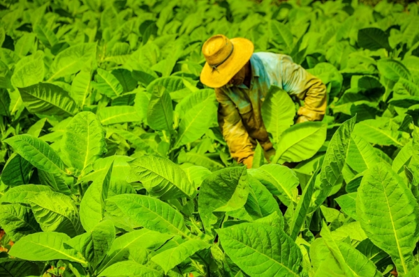 Tobacco farmer tends to his crop