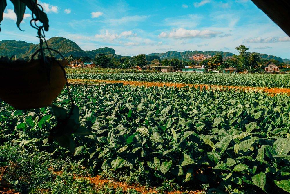 Vinales_tobacco_field.jpg