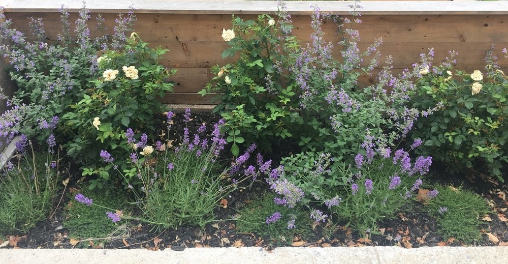 Opposite view of a water wise plant assortment for a very sunny front yard featuring white roses, nepeta, lavenders and thyme