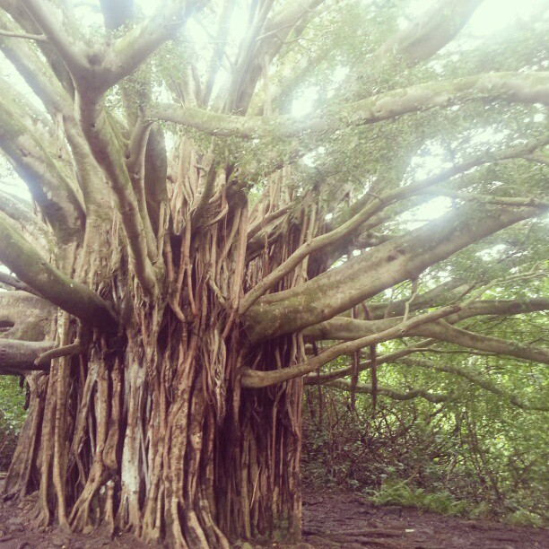 The mighty banyan tree sings out before you. Adventure + Romance