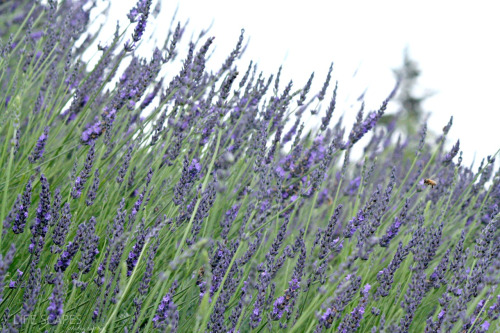 Ever wonder what a lavender field looks like? Upcountry Maui.