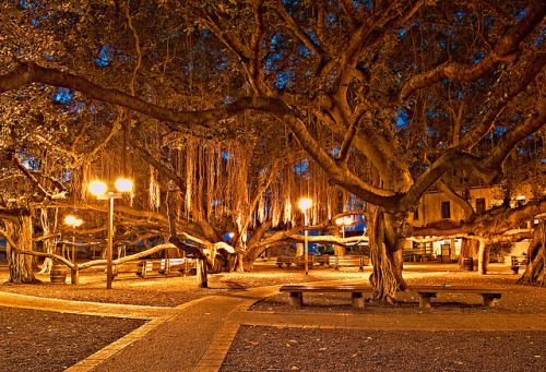 This banyan tree spans an entire city block in Lahaina, Maui. See it lit up at night!