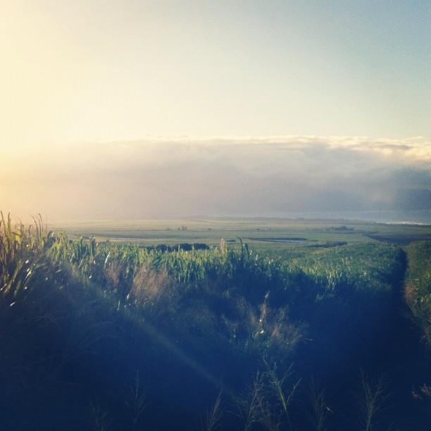 Sugar cane maze of glory #maui #adventure (Taken with instagram)