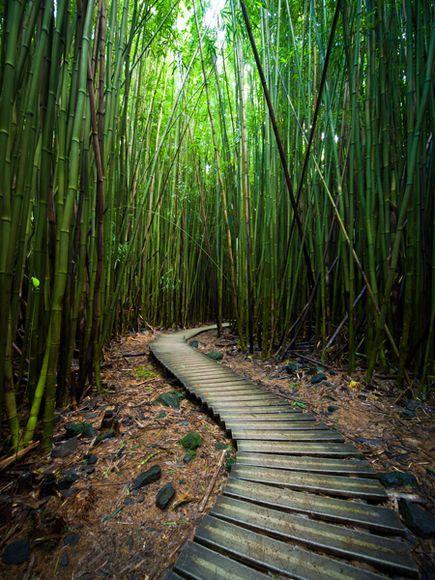 The Bamboo Forrest near Waimoku Falls on the Pipiwai Trail off the Road to Hana.
