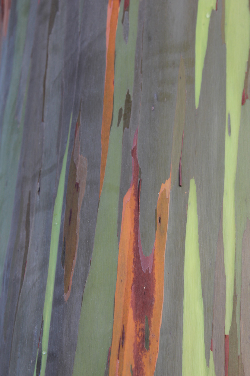 Happy 140th Birthday to the Rainbow Eucalyptus, which was first planted on Maui in the 1870s! Check out more incredible pics of Maui.