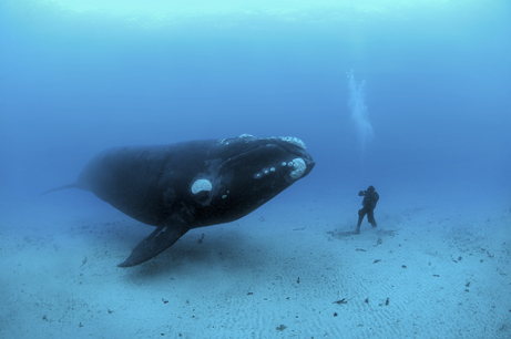 Crazy underwater shot of a whale and scuba diver up close and personal!
