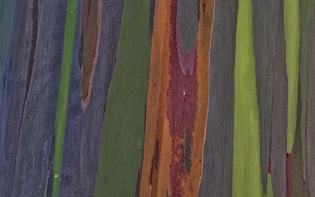 Up close and personal: Rainbow Eucalyptus tree bark!