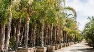 nursery palm trees.jpg