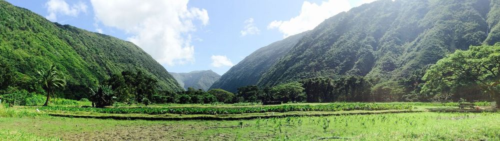 panoramic view taro farm .jpg