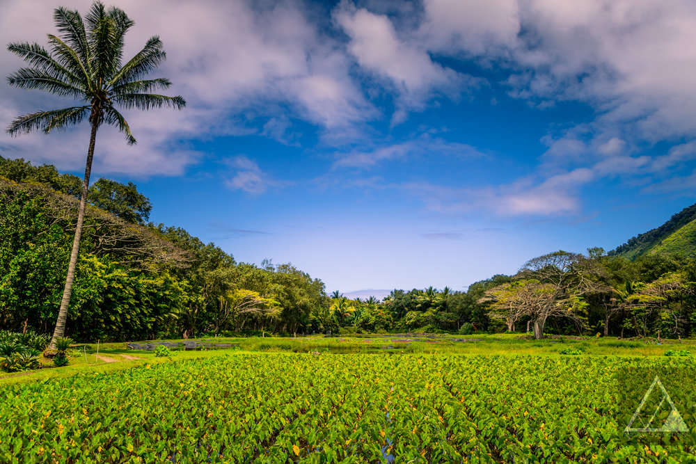 Kalo (Taro) Field, Waipi'o Valley Hawaii Photo By Andrew Rich Hara Media