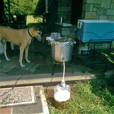 Blondish dog makes sure Blondish Ale is draining properly.