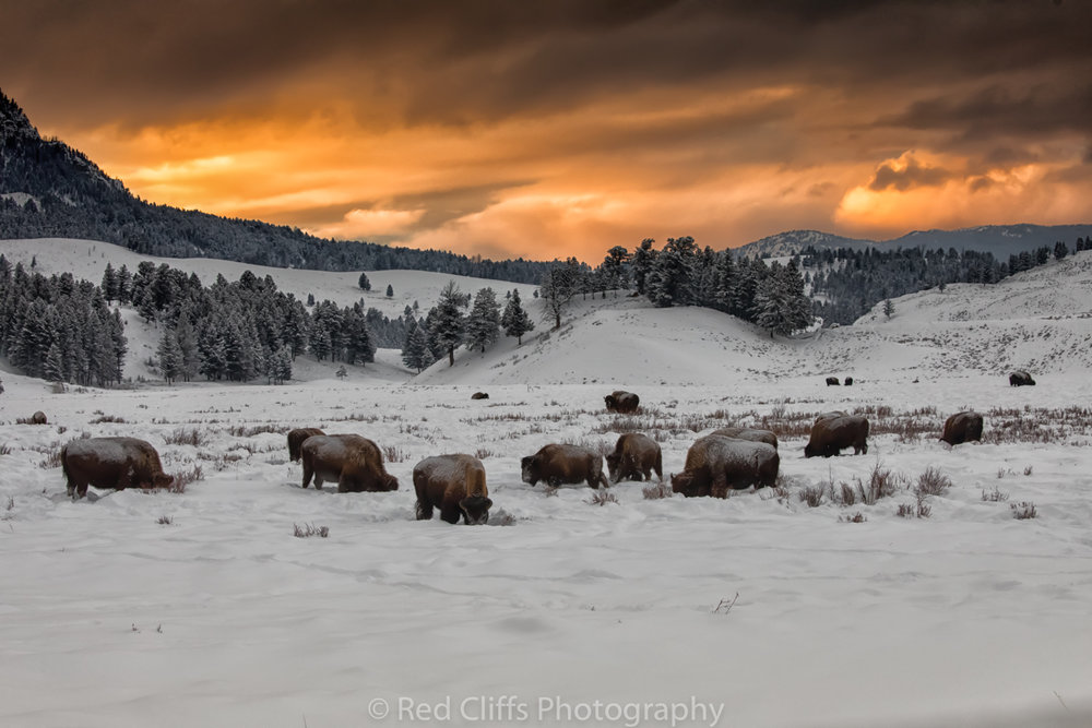 Bison at sunset in Yellowstone near Tower Junction. As we where driving back at the end of the day we came upon this sunset. I slammed on the brakes and jumped out in time to get a few shots off before the sky went away.