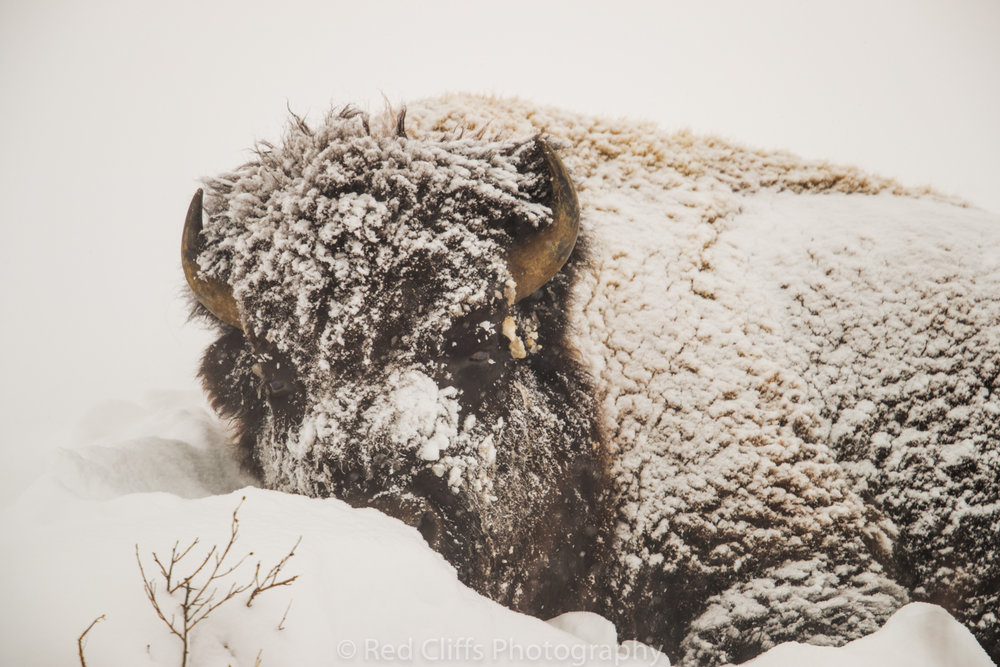 Bison in the storm near Mammoth Hot Springs. We got up to lots of fresh snow that covered the roads overnight. We had to wait for the plows to clear the road and ended up finding this Bison along the road .