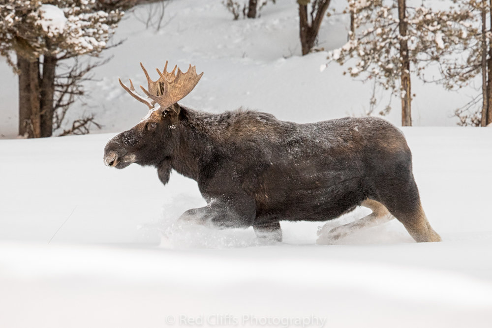 He was just amazing to watch run such a large animal just floating through the snow.