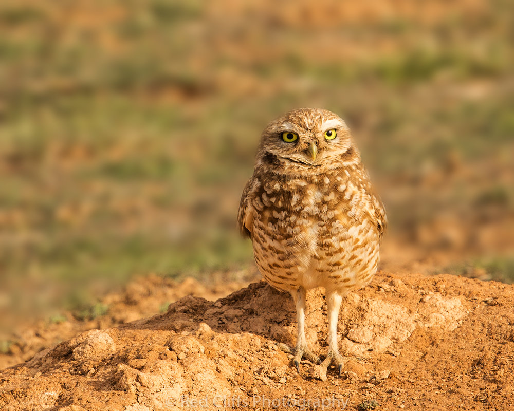 These little Owls are challenging to photograph but are worth the work. All these shots are taken with the Canon 5d mkiv with the 500mm F4 L is ii and a 1.4 teleconverter for a focal length of 700mm. I used a shutter speed of 1/800 - 1/1250 sec F5.6 -F11 ISO between 125-400.I continue to be impressed with the new 5d mkiv  for wildlife and landscape photography. The detail I am getting is great and the low light performance is amazing. Another thing I have been busy setting up permits in the Grand Staircase to conduct a few night workshops As soon as I get the permits I will be announcing the info here first.