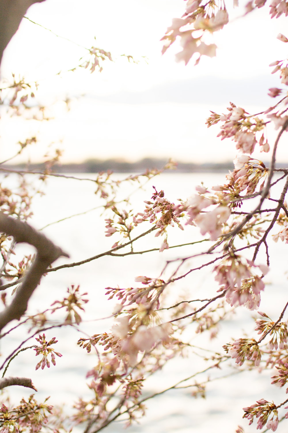 cherry blossoms-114.jpg