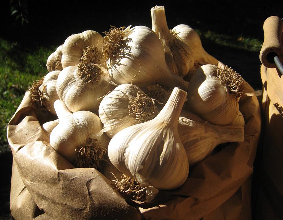 garlic for website sktch.jpg