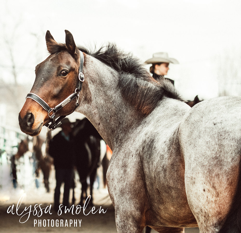 im so blue minnesota horse expo blue roan.jpg