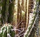 spain elche spiky thorny cacti in Huerto del Cura (Priest's Garden), Palm Garden in Elche