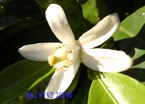 orange blossom white flower, dark green leaves,  Citrus sinensis