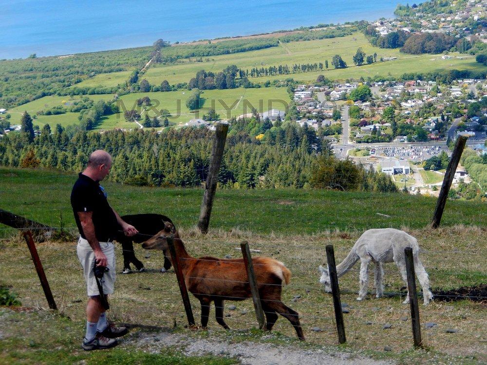 Ngongataha Hill, alpacas, Rotorua in the background, NZ