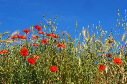 Poppies Sky_008copy.jpg