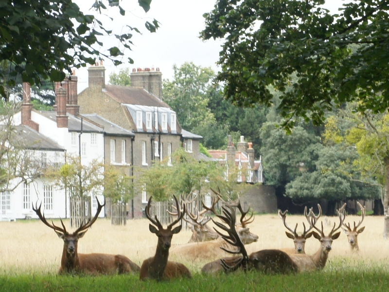 Bushy park deer