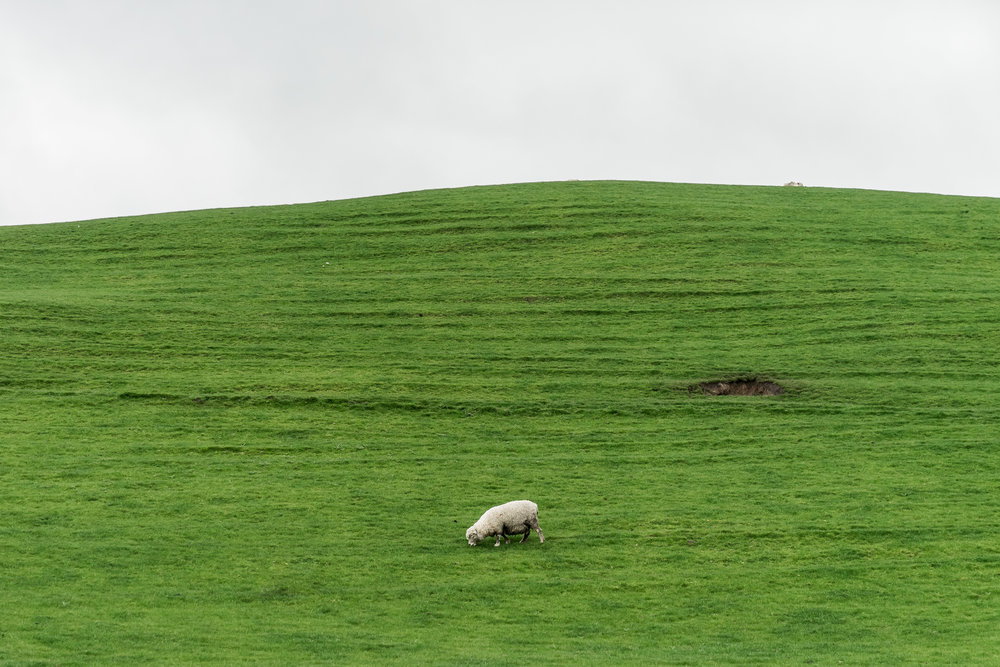 Hobbiton Sheep