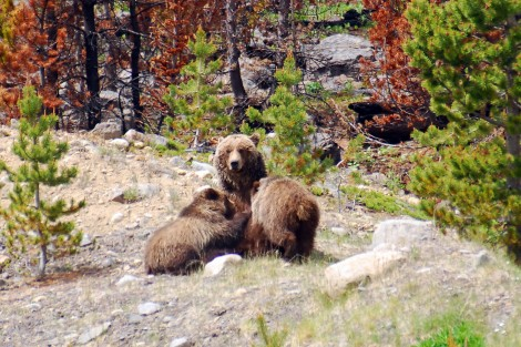 (Photo by Phillip Henry: Grizzly Sow breastfeeding her baby cubs)